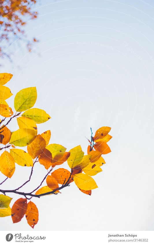 colourful autumn leaves tower up into the sky Calm Nature Autumn Leaf Forest Yellow Attentive Transience Evening sun Chemnitz Seasons October Autumnal