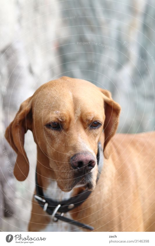 . Animal Pet Dog 1 Brown Gray Sadness Puppydog eyes Colour photo Exterior shot Deserted Copy Space top Day Animal portrait