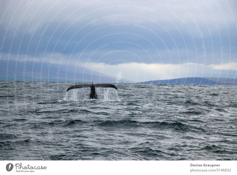 Humpback whale in Iceland tail fin sea Life Nature Wild animal Joy Happy mammal surface water baleen pacific humpback dive blue large splash wildlife beautiful