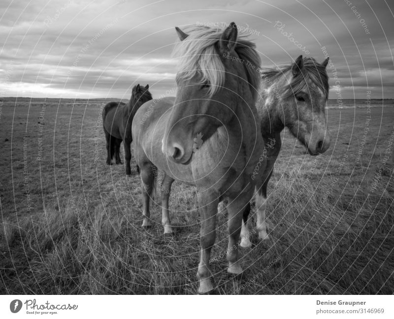 "Icelandic horse in black and white photography Environment Nature Landscape Horse Looking Enthusiasm ""Icelandic horse iceland Climate change,"" Monochrome animal"