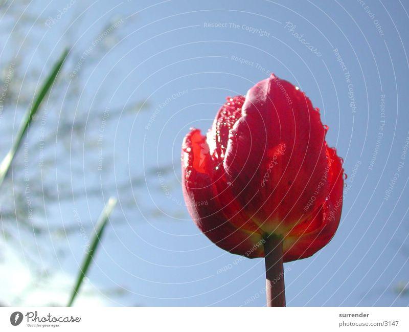 After the rain Tulip Flower Rain Rope