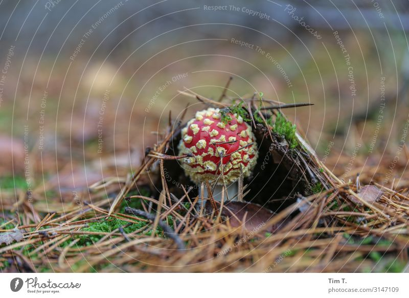 The fly agaric Environment Nature Landscape Plant Earth Autumn Moss Mushroom Amanita mushroom Brandenburg Woodground Colour photo Exterior shot Close-up