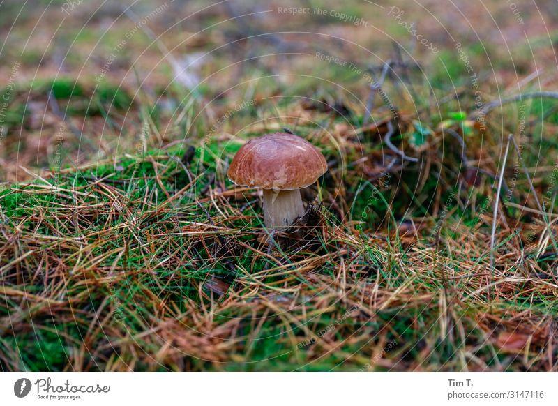Nature Plant Landscape Forest Autumn Environment Grass Brandenburg Competent Mushroom cap Boletus
