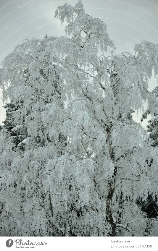 Icy winter tree Plant Elements Sky Winter Ice Frost Snow Tree Forest Freeze Stand Esthetic Cold Blue White Moody Bizarre Climate Nature Survive Environment