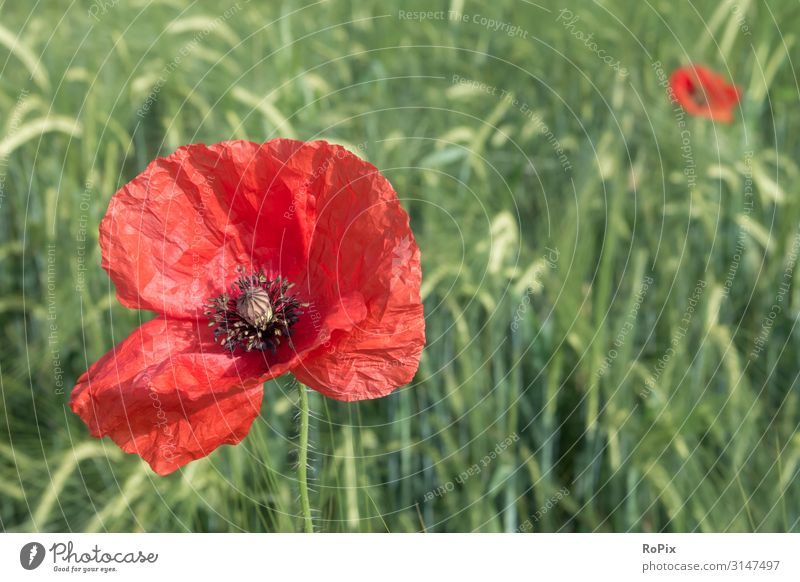 Poppy blossom in a cornfield. Lifestyle Style Healthy Fitness Wellness Harmonious Relaxation Meditation Leisure and hobbies Freedom Summer Agriculture Forestry