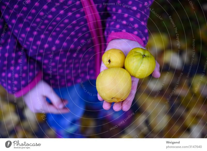 quinces Girl 1 Human being 3 - 8 years Child Infancy Autumn Yellow Humble Quince Fragrance Discovery Fruit Copy Space right