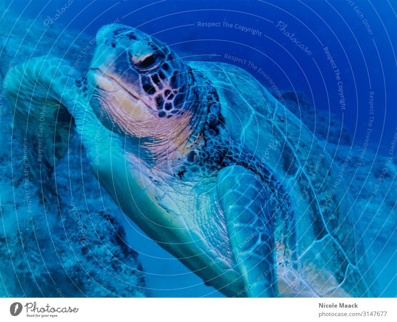 turtle Nature Water Wild animal 1 Animal Dive Blue Colour photo Exterior shot Detail Underwater photo Flash photo Animal portrait Forward