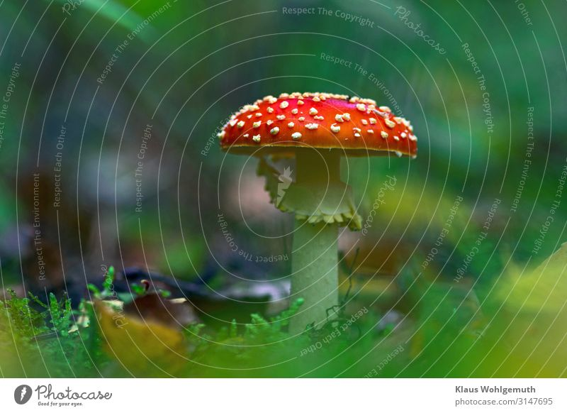 Toadstool in autumn forest, frog perspective Amanita mushroom Environment Food Nature Plant Autumn Moss Forest Growth Esthetic Exotic pretty Blue Brown Yellow