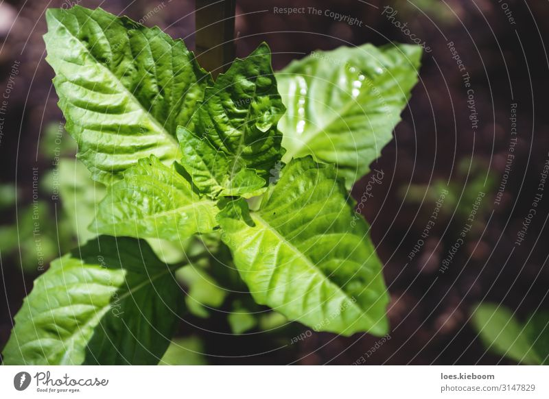 Basil plant in bird eye's view Herbs and spices Summer Nature Plant Leaf Agricultural crop Blossoming Eating basil Bitter gardening food fresh green organic