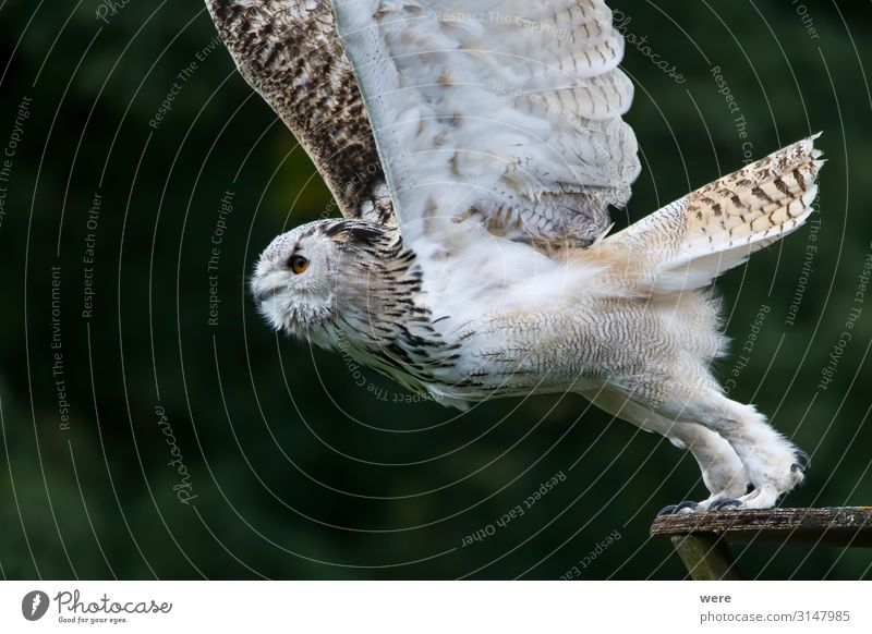 Snowy owl in flight Nature Animal Wild animal Bird 1 Flying Soft Bubo scandiacus Falconer plumage prey bird of prey copy space falconry feathers fly hunting