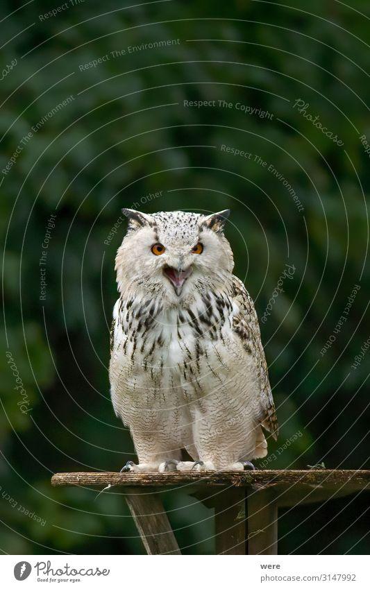Owl is sitting on a board Nature Animal Wild animal Bird Owl birds 1 Aggression Soft Bubo scandiacus Falconer plumage prey Snowy owl bird of prey copy space