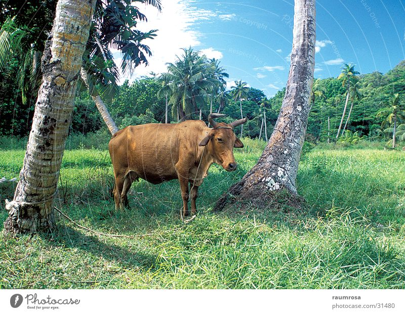 Relaxed beef Animal Cattle Seychelles Freedom