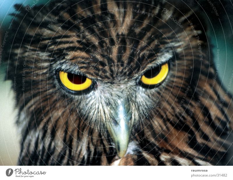 eagle owl Animal Bird Sri Lanka Eyes wildlife Yala National Park