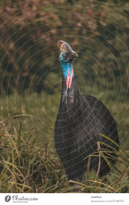 Helmet Cassowary Tree Grass Meadow Forest Deserted Animal Bird 1 Dark Exotic Blue Gray Green Pink Black Colour photo Subdued colour Exterior shot