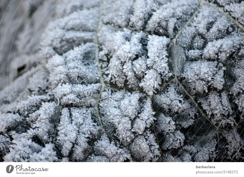 Nature Plant Leaf Winter Environment Cold Garden Ice Climate Change Vegetable Frost Agricultural crop Cabbage