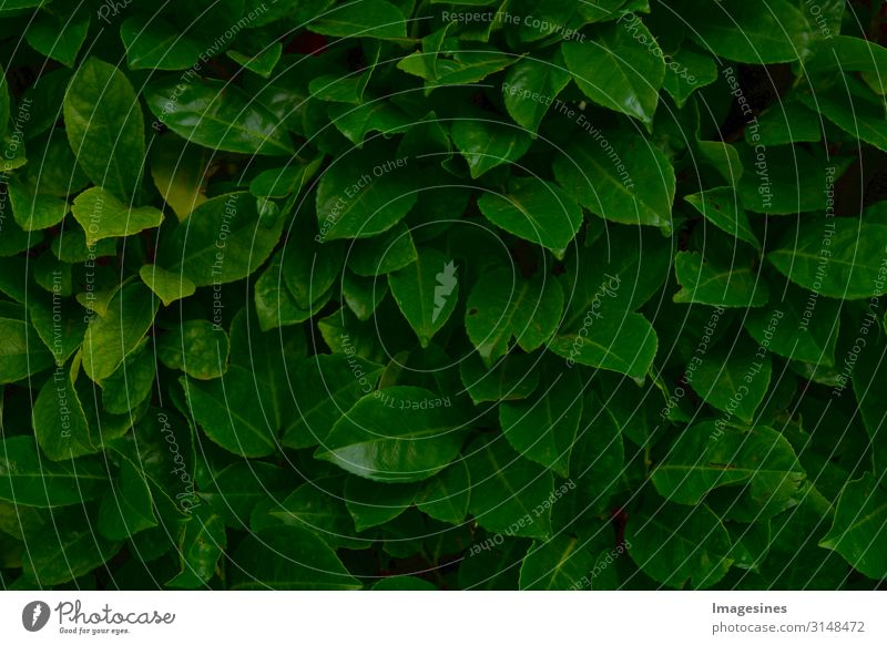 "dark foliage Environment Nature Plant Tree Bushes Leaf Foliage plant Drops of water Background picture Wet Green Design Climate ""dark green Foliage quality"