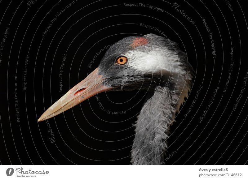 Portrait of a common crane (Grus grus) with black background Bird Crane Beak Nature Heron Animal Gamefowl White Eyes Great egret Mysterious Head Wild Feather