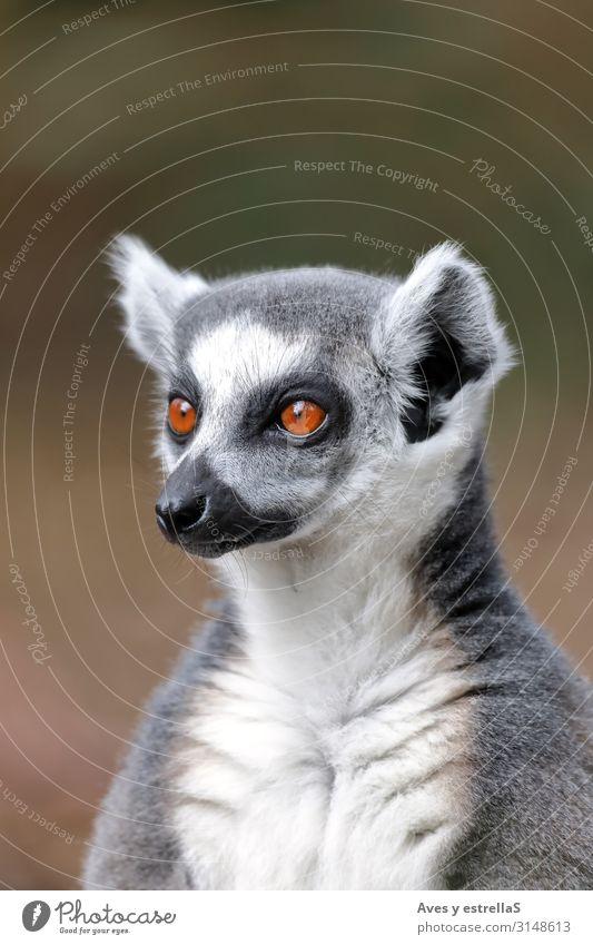 Portrait of a ring-tailed lemur (Lemur catta) Animal Mammal Madagascar Zoo Fur coat Cute Wild Gamefowl Ring Nature Ring-tailed Lemur Eyes Portrait photograph