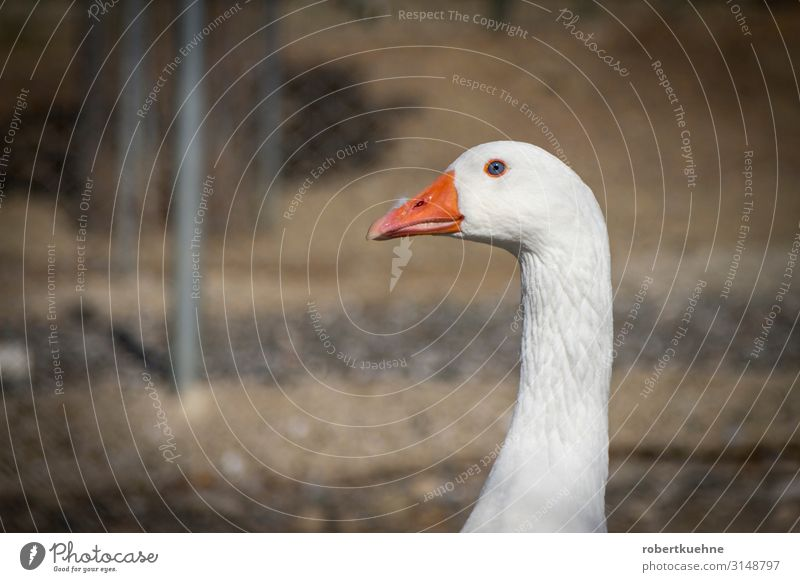 Head of a goose Vacation & Travel Mountain Nature Animal Pet Bird Animal face Goose 1 Looking Bravery Safety Serene Colour photo Copy Space left