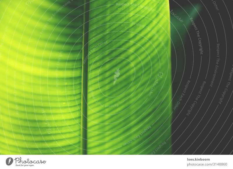 Closeup of a neon coloured heliconia leaf Design Spa Summer Nature Stripe Healthy Retro Yellow Green Emotions Happy Joie de vivre (Vitality) Optimism