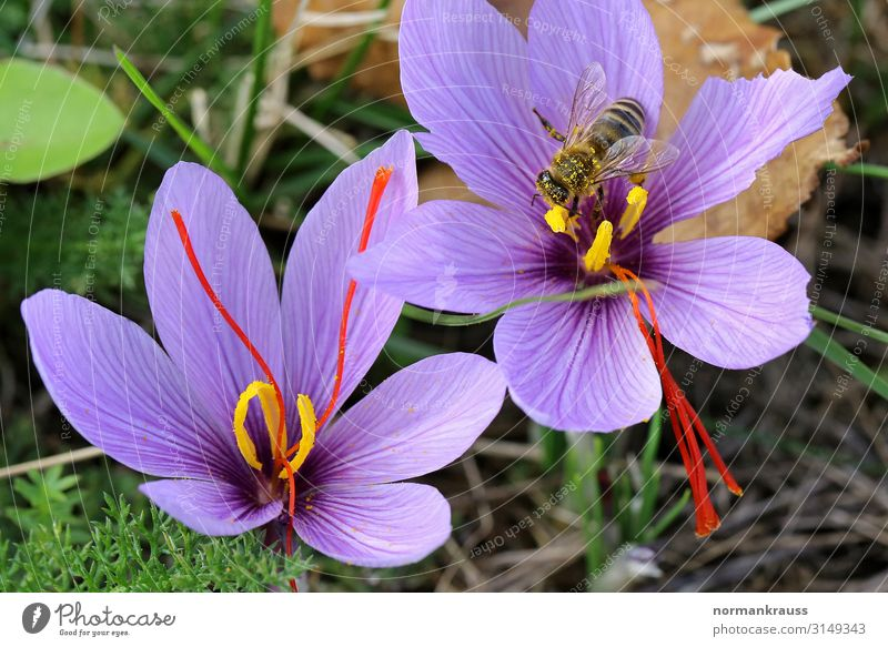 Saffron flowers with bee Nature Plant Autumn Beautiful weather Flower Blossom Animal Wild animal Bee Wing 1 Blossoming To feed Violet Herbs and spices