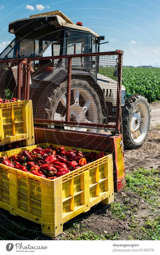 Mature big red peppers on tractor in a farm. Vegetable Nutrition Plant Transport Growth Fresh Natural Red ripen traktor picking Crate Chili agricultural Farm