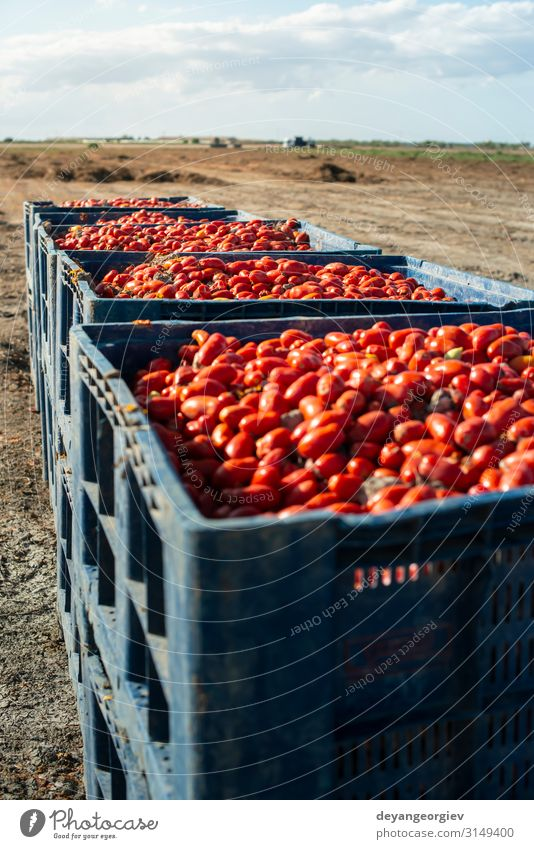 Big crates with tomatoes. Vegetable Fruit Nutrition Industry Business Transport Container Fresh Natural Red White Tomato Crate canning Farm Seasons Harvest food