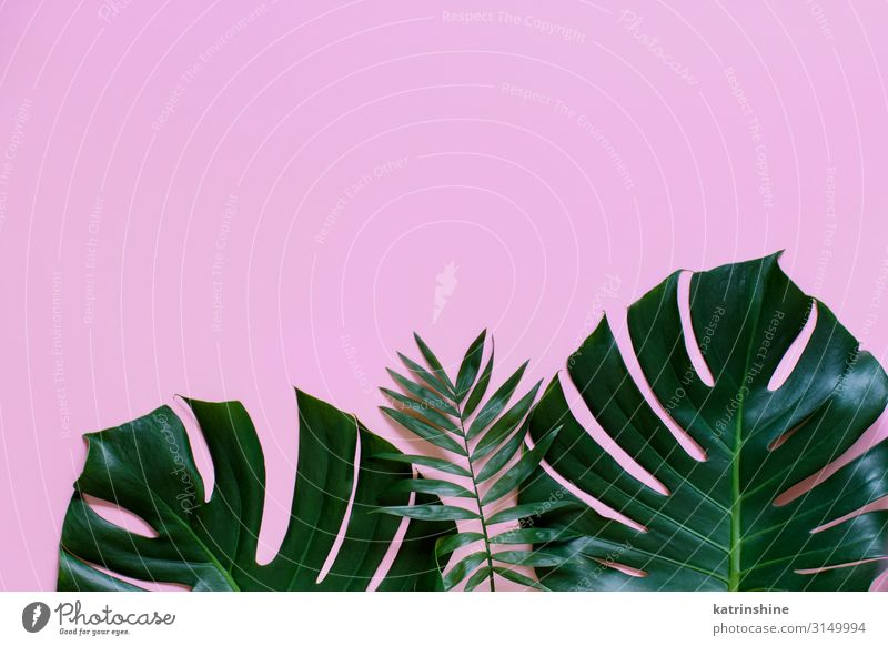 Tropical background with Monstera leaves Design Exotic Vacation & Travel Summer Beach Plant Leaf Bright Hip & trendy Modern Green Pink Creativity palm