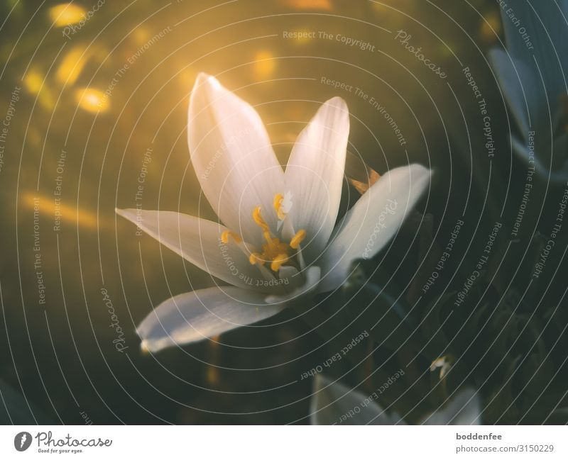 Milk star in sunlight Nature Plant Sunlight Spring Beautiful weather Flower Blossom Garden Gold Green White Colour photo Exterior shot Close-up