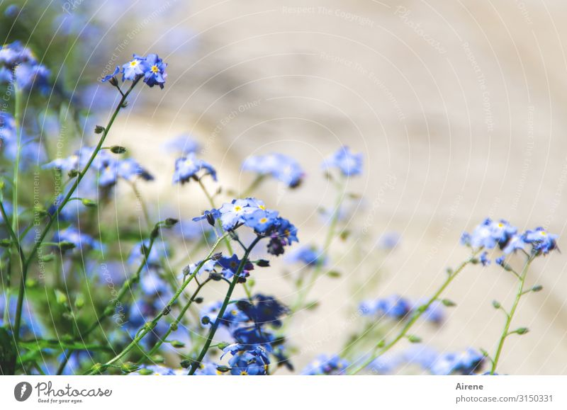 Nature Summer Plant Blue Green White Flower Spring Natural Small Garden Bright Field Authentic Beautiful weather Blossoming