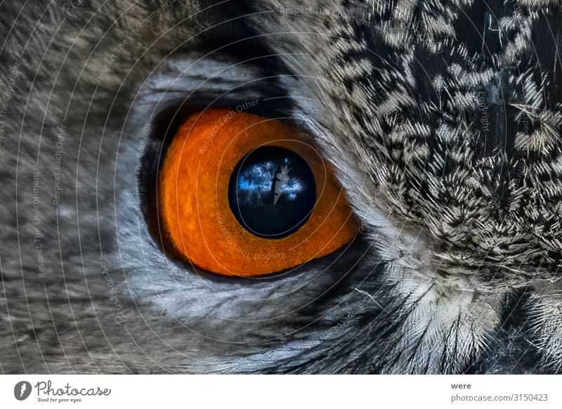 closeup of an Owl eye Eyes Nature Animal Bird Owl birds 1 Soft Falconer owl plumage prey bird of prey copy space falconry feathers flight fly hunting majestic