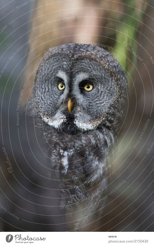 owl looks into the camera Nature Animal Wild animal Bird 1 Soft Falconer plumage prey bird of prey copy space falconry feathers flight fly hunting majestic