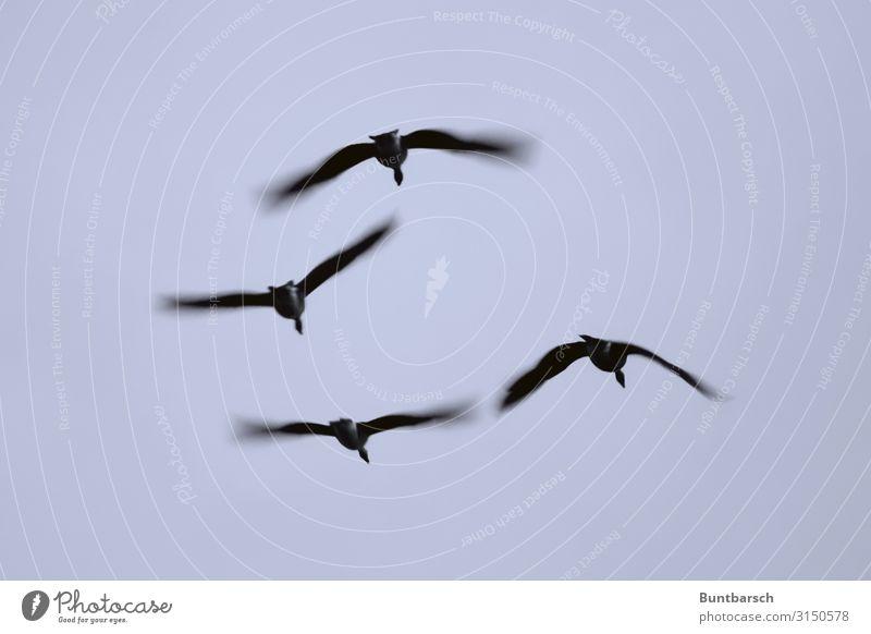 Sky Nature Animal Autumn Environment Natural Bird Flying Elegant Wild animal Esthetic Group of animals Wing Mobility Flock Goose