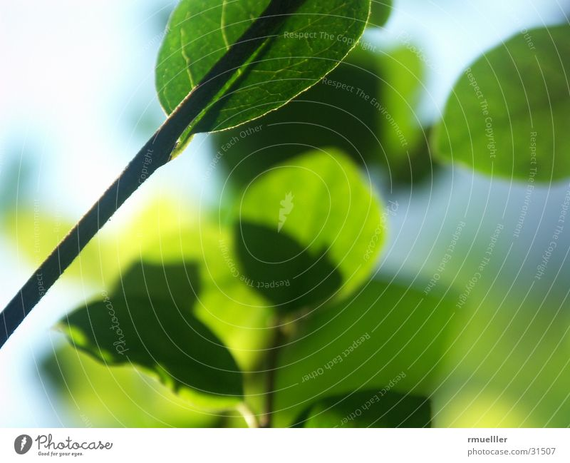 transmitted light Leaf Green Autumn Light Tree Plant Macro (Extreme close-up) Nature