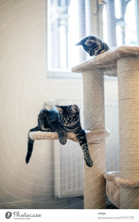 Smilla and Emmy Living or residing Flat (apartment) Room Window Pet Cat 2 Animal Baby animal cat tree Bright Small Curiosity Cute Relaxation Calm Colour photo