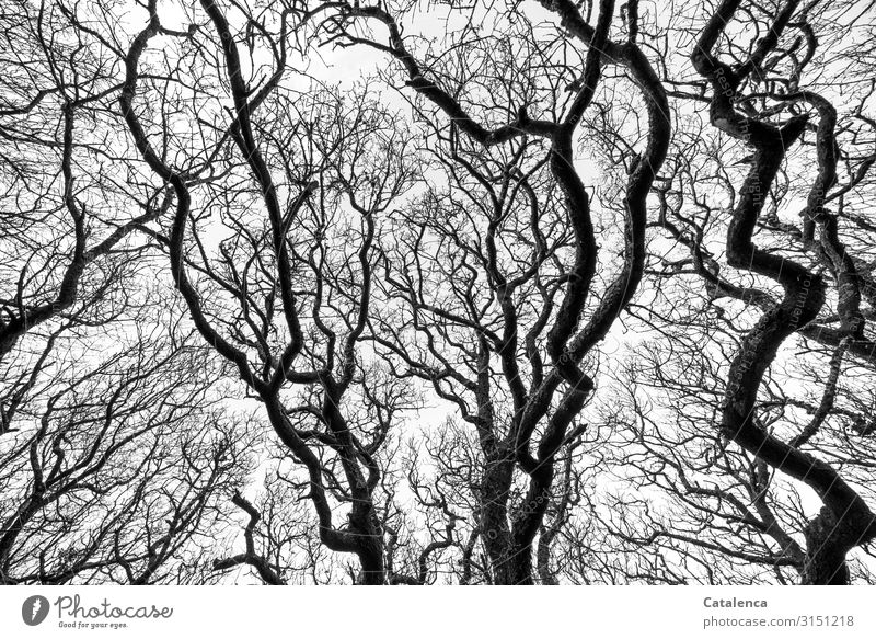 The bare, gnarled, wildly branching branches of old deciduous trees stretch towards the sky background twigs Distorted Old Branched Tree Deciduous tree Gnarled