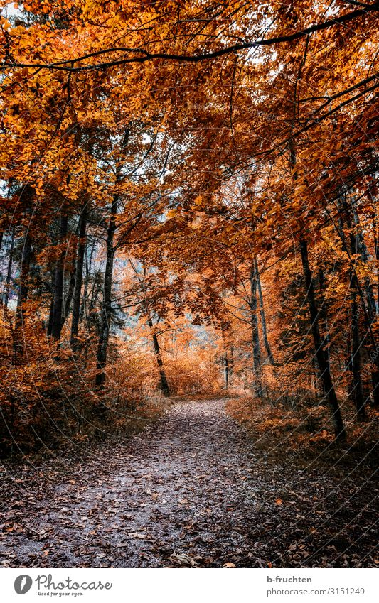 walk in the woods Well-being Leisure and hobbies Trip Hiking Nature Autumn Plant Tree Leaf Forest Park Lanes & trails Relaxation Going To enjoy Natural Orange