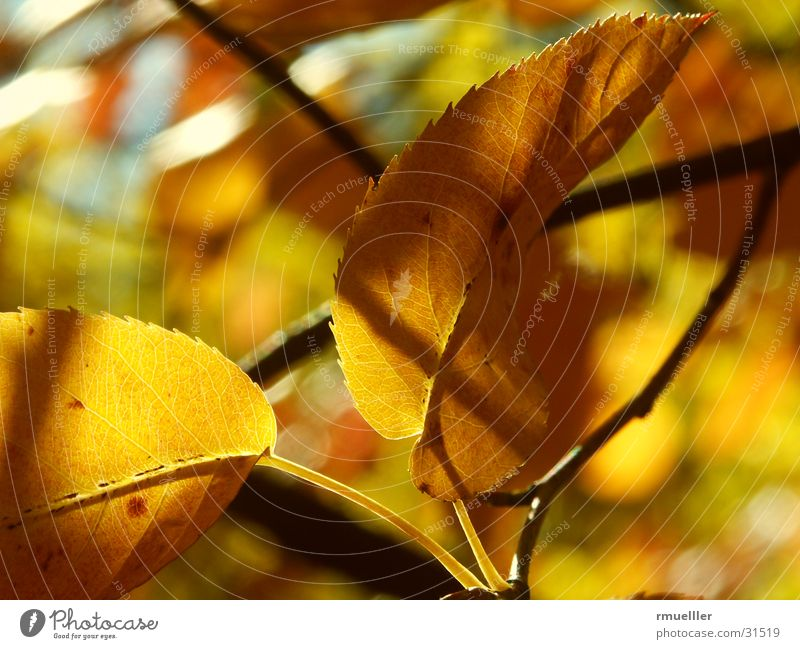 Tree Leaf Yellow Colour Forest Autumn Brown Gold