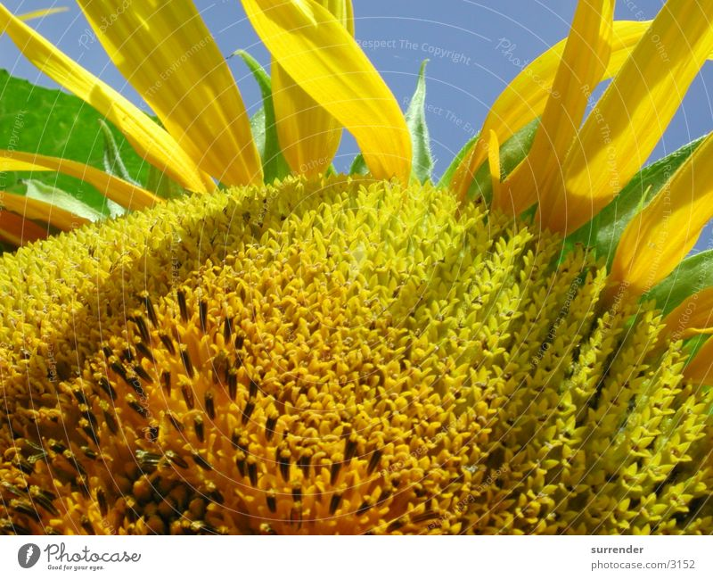 Summer Field Sunflower