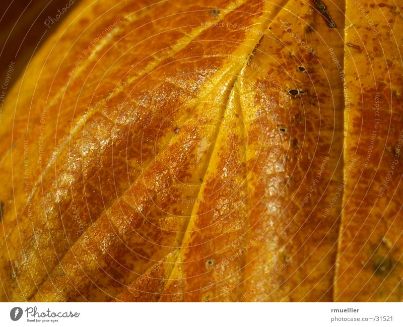 AutumnGold Leaf Tree Sentimental Detail Macro (Extreme close-up) Nature case Old Colour