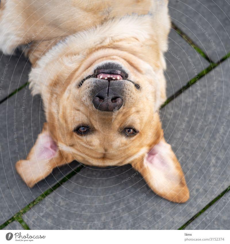 Dog Lie Hamburg Head first