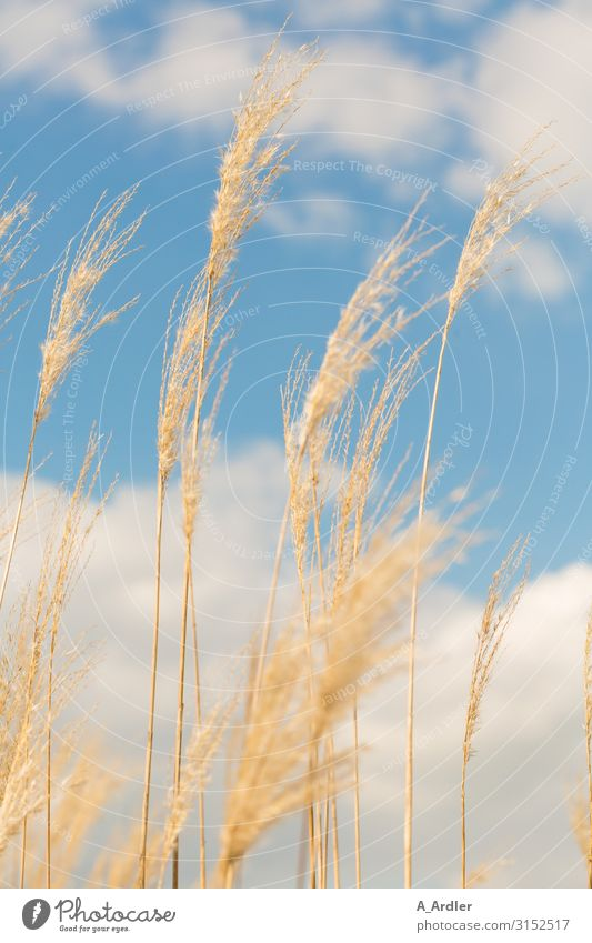 Reed (Phragmites australis) in the wind Trip Freedom Hiking Environment Nature Landscape Plant Elements Sky Clouds Summer Autumn Weather Beautiful weather Wind