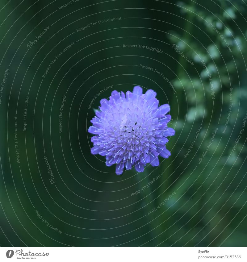 hypnotically central Pigeon cabiose Herbaceous plants Flower Blossom scabioses purple flower flowering flower Ornamental plant Summer bloom blossom Blossoming
