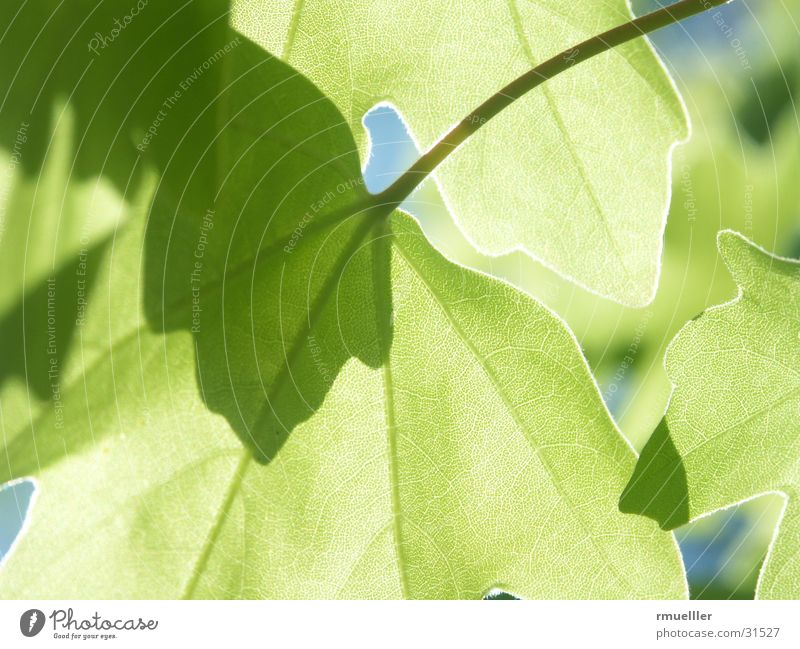 Nature Tree Leaf Translucent
