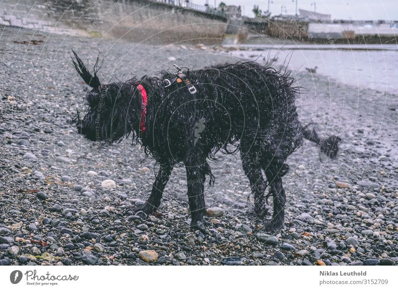 Shaking Dog Environment Bad weather Rain Coast Beach Fishing village Wall (barrier) Wall (building) Neckerchief Black-haired Long-haired Animal Pet 1