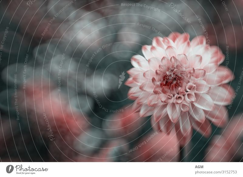 Autumnal play of colours Dahlie in front of a blurred background Gardening Nature Plant Flower Blossom Dahlia Park Blossoming Esthetic Elegant Beautiful Near