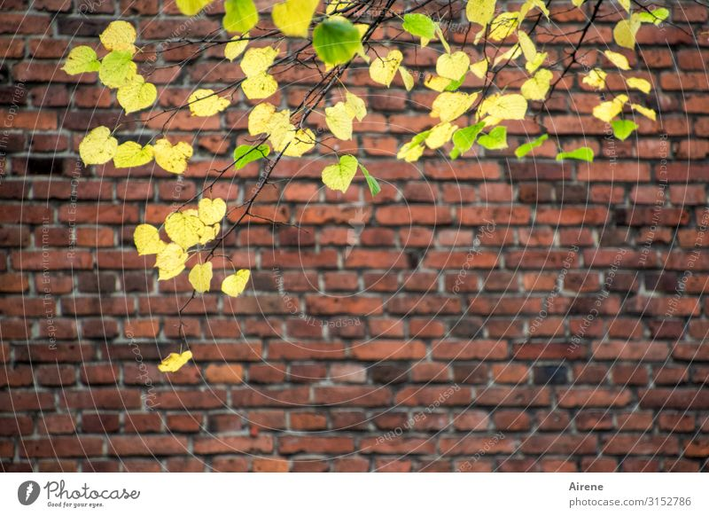 Old Town Autumn | UT Hamburg Tree Leaf Autumn leaves Lime leaf Old town Wall (barrier) Wall (building) Brick construction Brick wall Natural Yellow Green Red