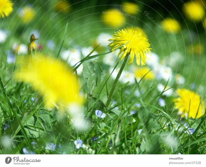 Nature Sun Flower Green Meadow Dandelion