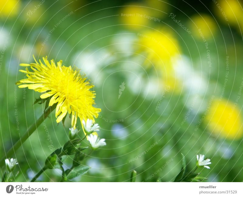 Nature Green Yellow Meadow Dandelion