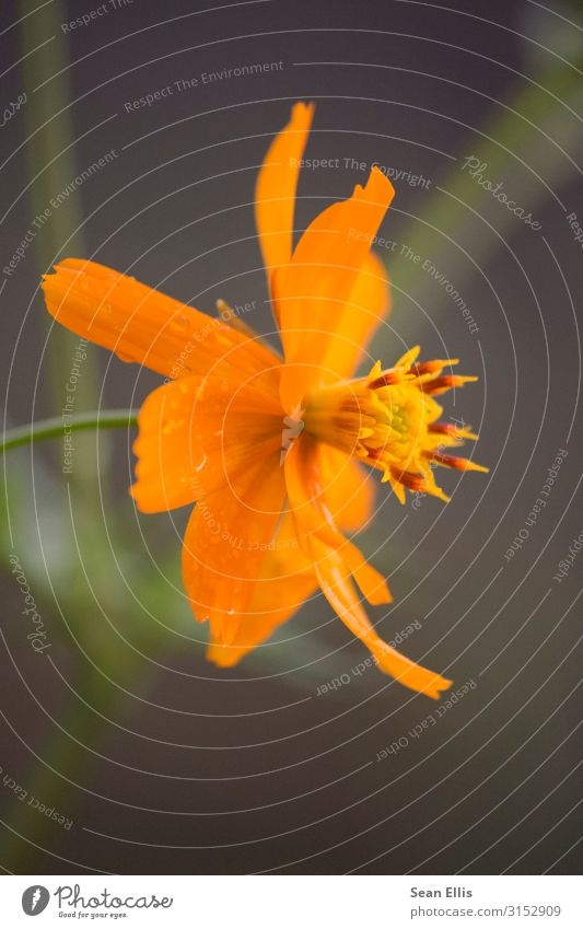 Orange Flower Environment Nature Plant Drops of water Spring Beautiful weather Blossom Park Philippines Yellow Calm Colour photo Macro (Extreme close-up)